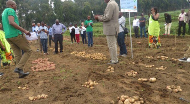 Abahinzi b'ibirayi bijejwe ko batazongera kugura imbuto hanze y'u Rwanda
